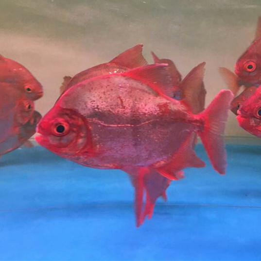 敦煌玫瑰银版鱼